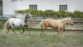 Palominohäst och Appaloosahäst som tillsammans galopperar i ett fäktat fält arkivfoton