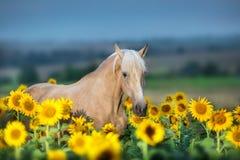 Palominohäst på solrosor royaltyfria bilder