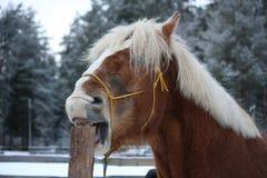 Palominohäst som cribbing trästaketet Royaltyfri Bild