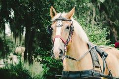 Palominohäst som drar vagnen arkivfoto