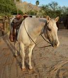 Palominomålarfärghäst som bär en västra sadel Arkivfoto