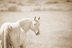 Palominopaard die achteruit eruit zien Royalty-vrije Stock Afbeelding