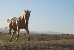 Palominopaard die solo met Hoeven in Lucht draven Royalty-vrije Stock Afbeeldingen
