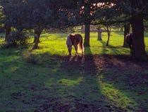 Palominopferd, welches das Gras hintergrundbeleuchtet durch die Sonne isst Stockbild