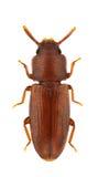 Palorus depressus Royalty Free Stock Image