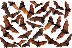 Palos de fruta del zorro de vuelo en el cielo Imagenes de archivo