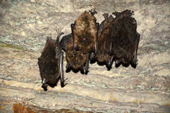 Palos el dormir en la pared de la cueva Imagen de archivo