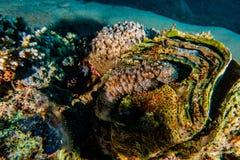 Palourde d'océan de Tridacna en Mer Rouge, coloré et plein de différentes couleurs photo libre de droits