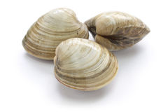 Palourde dure, clam Photos stock