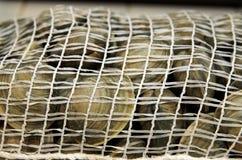 Palourdes fraîches dans le sac de fruits de mer de maille Photographie stock libre de droits