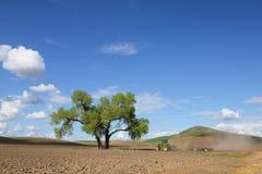 Palouse Cottonwood Bliźniaczy drzewa Obrazy Royalty Free