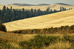 Palouse country 1. Ripe wheat ready for harvest in the Palouse area of southeastern Washington state Royalty Free Stock Photos