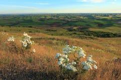 Palouse mit weißen Wildflowers Lizenzfreie Stockbilder