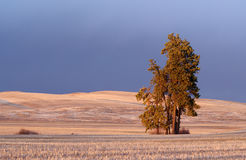 Palouse Pine Trees Royalty Free Stock Photo
