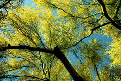 Paloverde Tree in bloom. Against the blue sky Royalty Free Stock Photo