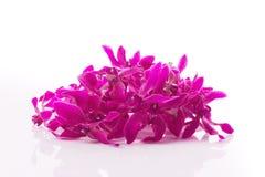 palowe orchidei purpury Zdjęcie Royalty Free