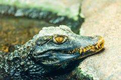 Palpebrosus de Paleosuchus do nome do latino do crocodilo de caimão - detalhe de cabeça do jacaré foto de stock royalty free