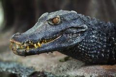 Palpebrosus Paleosuchus caiman карлика ` s Cuvier стоковое фото