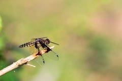 Palpopleura portia Masoala. Pres. Widow Dragonfly (Palpopleura portia) in the forest of Masoala, Madagascar royalty free stock photo