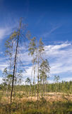 Paludal forest. Paludal mixed forest in west of Russia Stock Photography