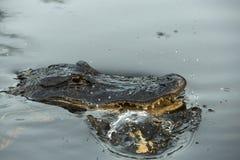 Palude del ramo paludoso di fiume dell'alligatore americano Fotografia Stock