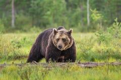 Palude dell'orso bruno i Fotografia Stock