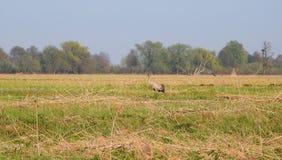 Palude dell'uccello della gru in primavera, Lituania Fotografia Stock