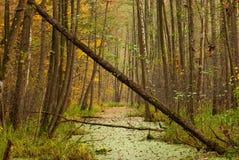 Palude della foresta Fotografia Stock