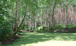 Palude della foresta Fotografie Stock Libere da Diritti