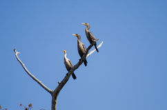 Palude di Okefenokee dei cormorani Fotografia Stock Libera da Diritti