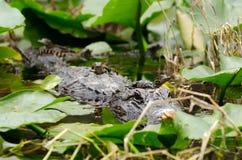 Palude di Okefenokee del baccello dell'alligatore del bambino e della madre Immagine Stock Libera da Diritti