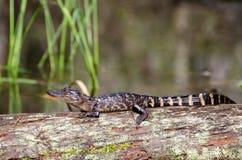 Palude di Okefenokee dell'alligatore del bambino Fotografie Stock