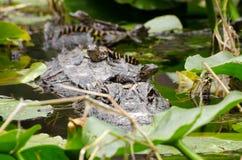 Palude di Okefenokee dell'alligatore del bambino Fotografia Stock Libera da Diritti