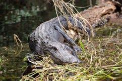 Palude di Okefenokee dell'alligatore del toro Immagine Stock Libera da Diritti