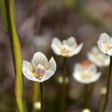 Palude Erba-di-Parnassus (palustris di Parnassia) Fotografia Stock