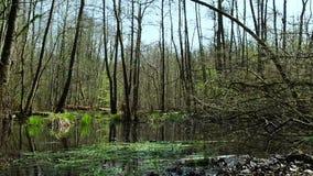 Palude nel legno Terreno invalicabile nella foresta stock footage