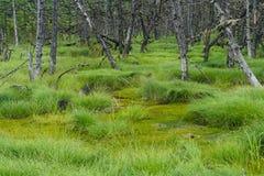 Palude nordica con gli alberi morti asciutti Fotografie Stock