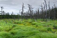 Palude nordica e foresta attillata che crescono intorno Immagini Stock Libere da Diritti