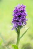 Palude-orchidea nordica - purpurella della dactylorhiza fotografia stock libera da diritti