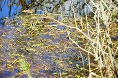 Palude tropicale con l'alligatore Fotografie Stock