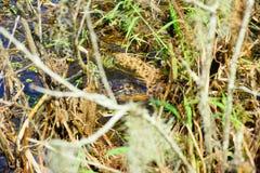 Palude tropicale con l'alligatore Fotografia Stock