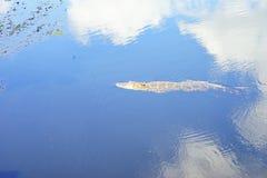 Palude tropicale con l'alligatore Immagini Stock Libere da Diritti