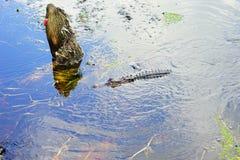 Palude tropicale con l'alligatore Fotografia Stock Libera da Diritti