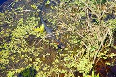 Palude tropicale con l'alligatore Immagini Stock