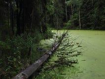 Palude verde della foresta Fotografia Stock Libera da Diritti