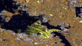Palude verde della rana stock footage