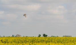 Paludi alba sorvolare Lincolnshire del tyto dei barbagianni fotografia stock