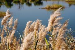 Paludi di Reed lungo il fiume Giallo fotografia stock libera da diritti
