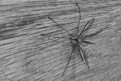 Paludosa européen de Tipula de mouche de grue photo stock