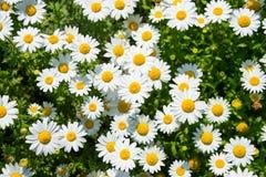 Paludosum Leucanthemum Стоковое фото RF